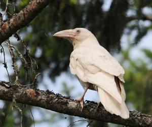 albino raven